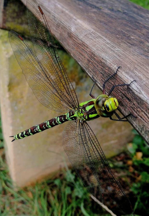 Dragofly стоковые фотографии rf