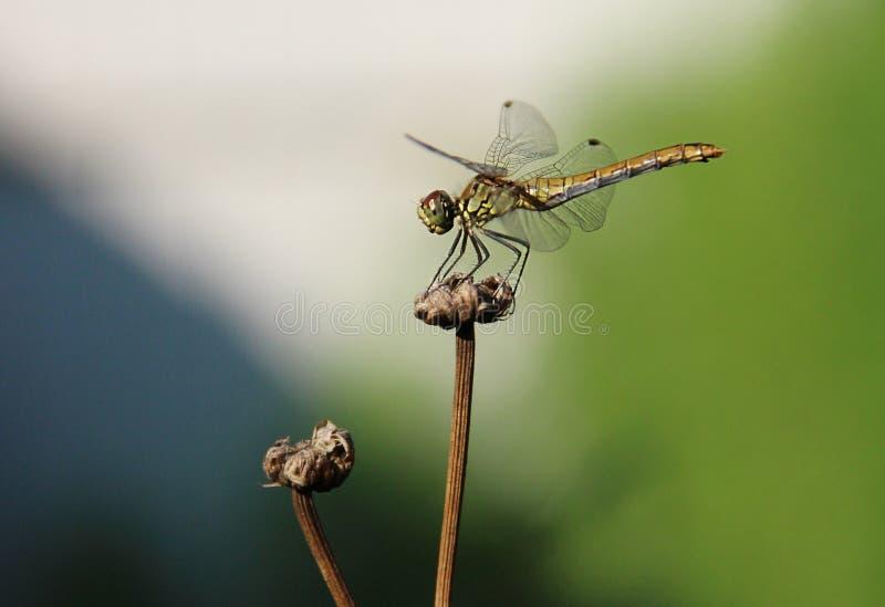 Dragofly stock image