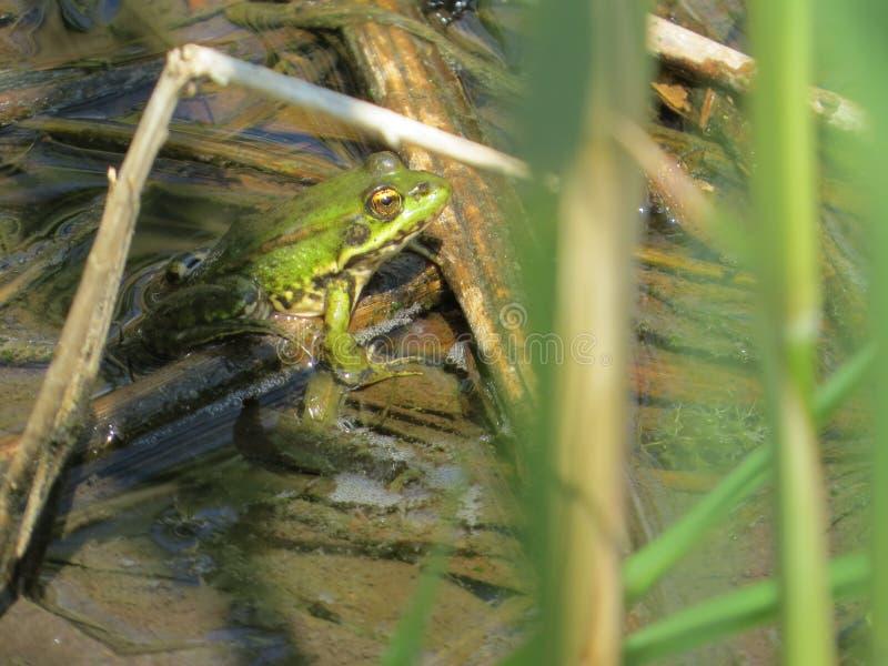 Dragomanu bagna płocha i zielona żaba zdjęcie stock