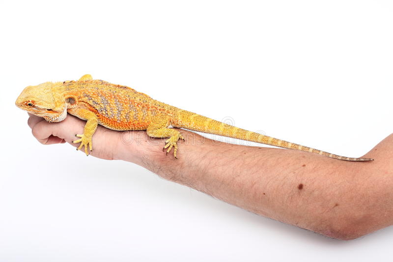 Dragon. Colored lizard on the human hand royalty free stock photos