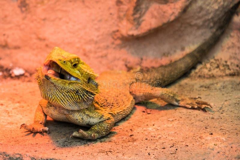 Dragon barbu à un arrière-plan rocheux photo libre de droits
