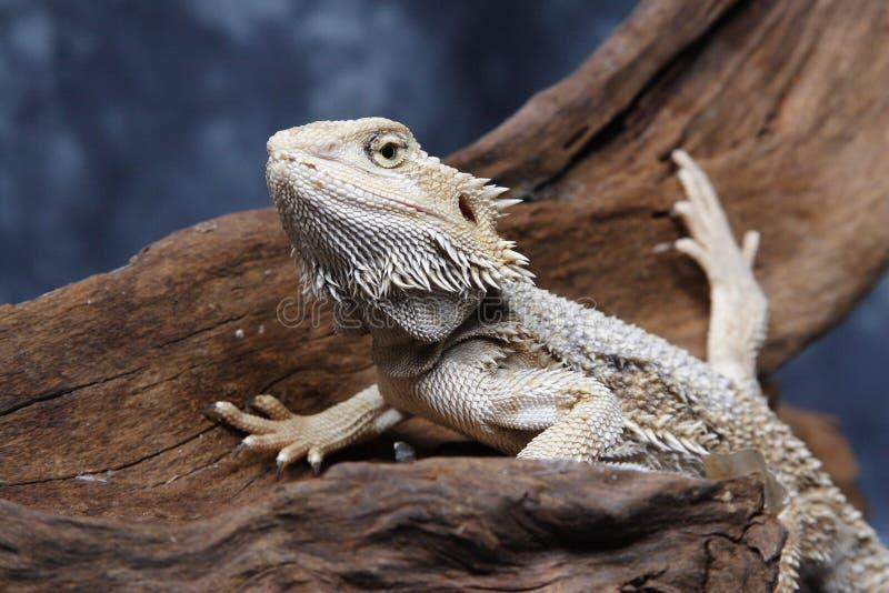 Dragon barbu image stock