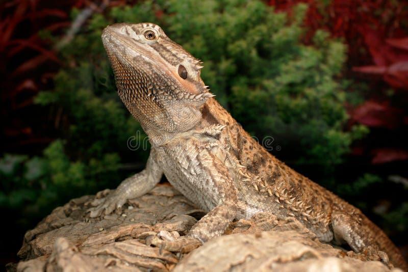 Dragon barbu images libres de droits