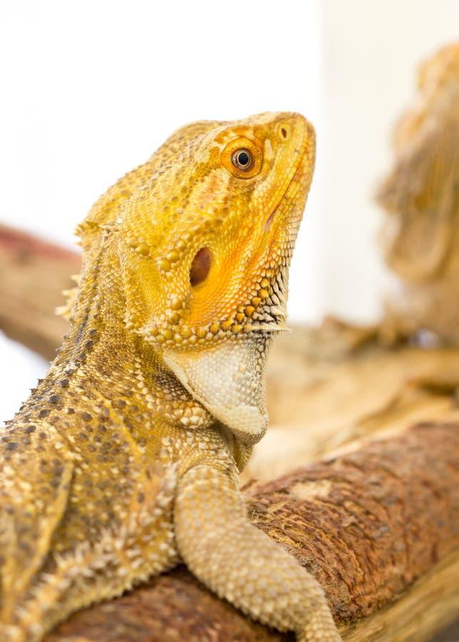 Dragon barbu. image libre de droits