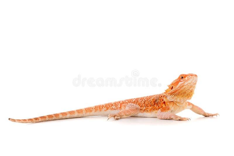 Download Dragon barbu photo stock. Image du primitif, blanc, reptile - 76080222