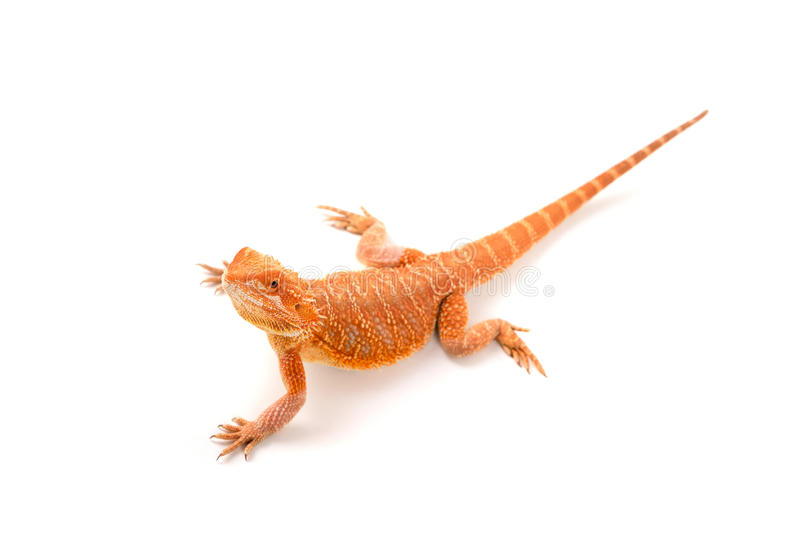 Download Dragon barbu image stock. Image du lézard, faune, verticale - 76080227