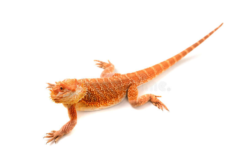 Download Dragon barbu photo stock. Image du arrière, orange, amical - 76080230