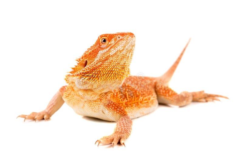 Download Dragon barbu photo stock. Image du lézard, arrière, orange - 76080236