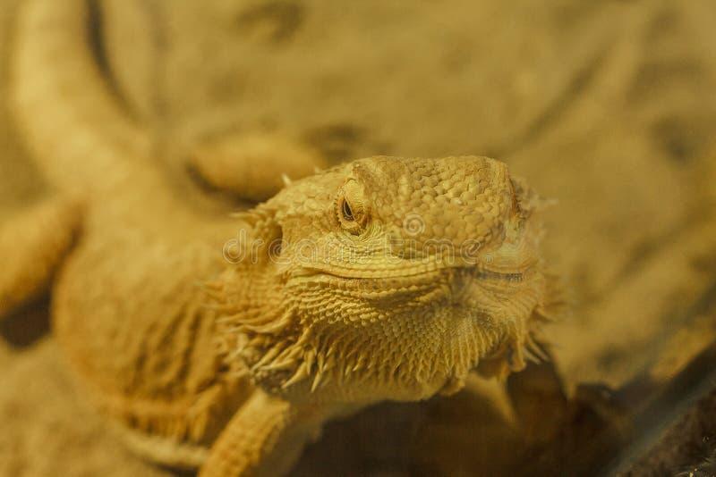 Dragon barbu en d?fendant ou en multipliant le temps photographie stock libre de droits