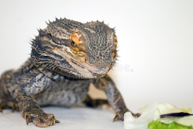 Dragon barbu regardant la nourriture photo stock
