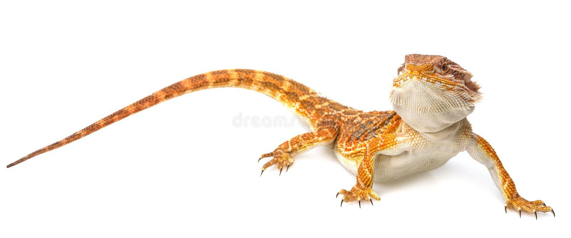 Dragon barbu - vitticeps de pogona images libres de droits
