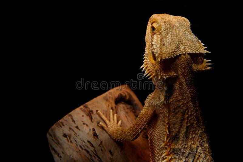 Dragon Basking barbudo fotografía de archivo libre de regalías