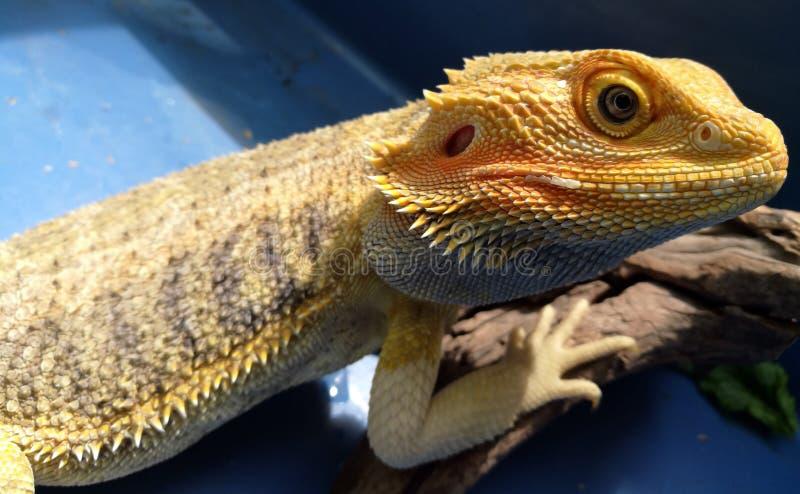 Dragon Basking barbudo foto de archivo libre de regalías