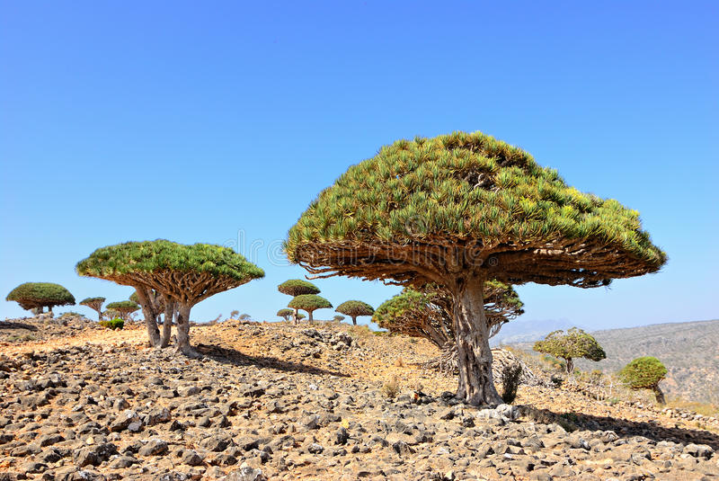 Download Dragon Blood Tree stock image. Image of africa, flora - 19995201