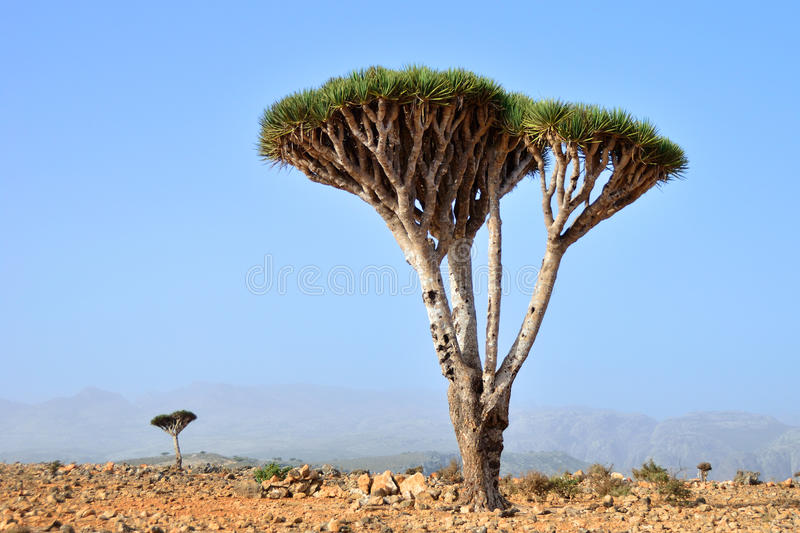 Dragon Blood Tree foto de stock royalty free