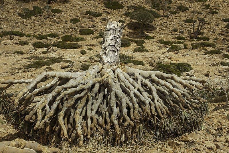 Dragon Blood Tree morto, il cinnabari della dracaena, dracena delle Canarie di socotra, ha minacciato le specie fotografie stock libere da diritti