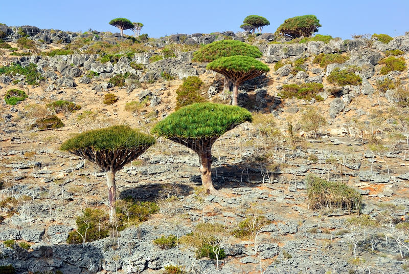 Dragon Blood Tree, Socotra imagens de stock royalty free