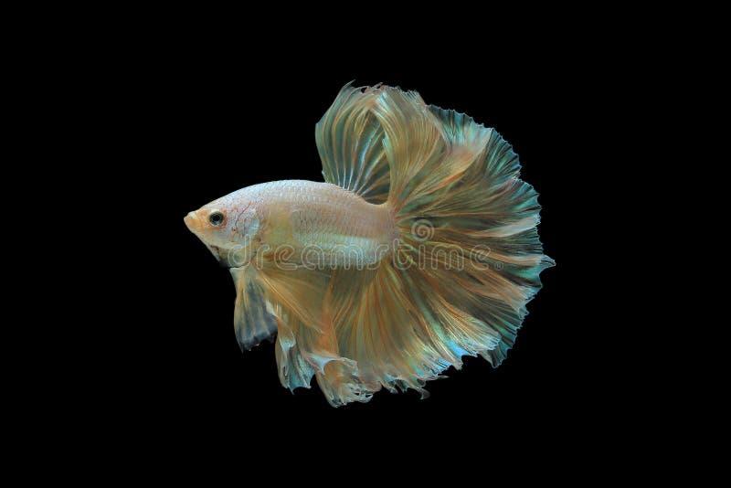 Dragon d'or de poissons de Betta images stock