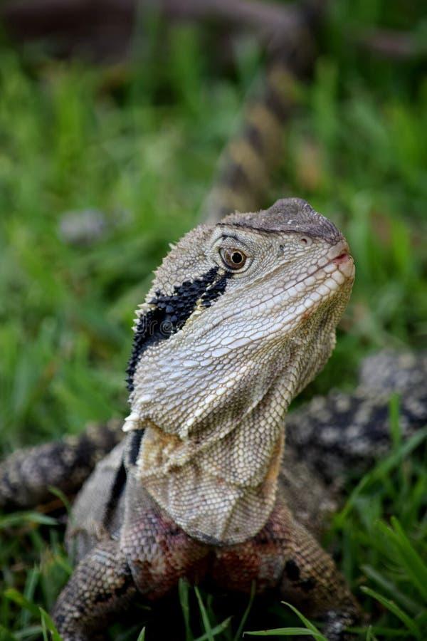 Dragon d'eau australien, Queensland, Australie image libre de droits