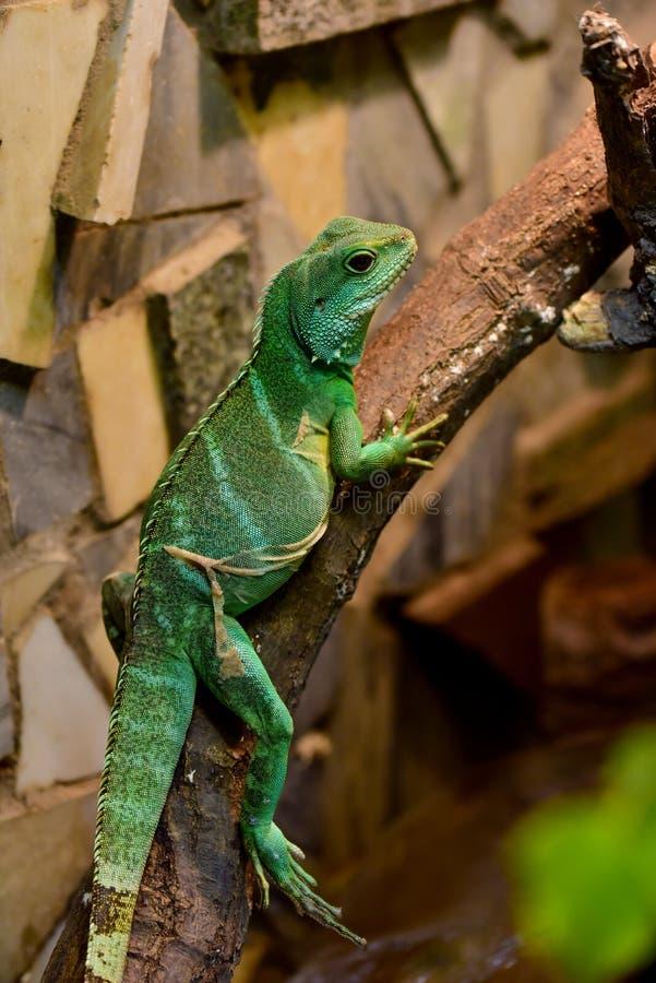 Dragon d'eau chinois (cocincinus de Physignathus) photos stock