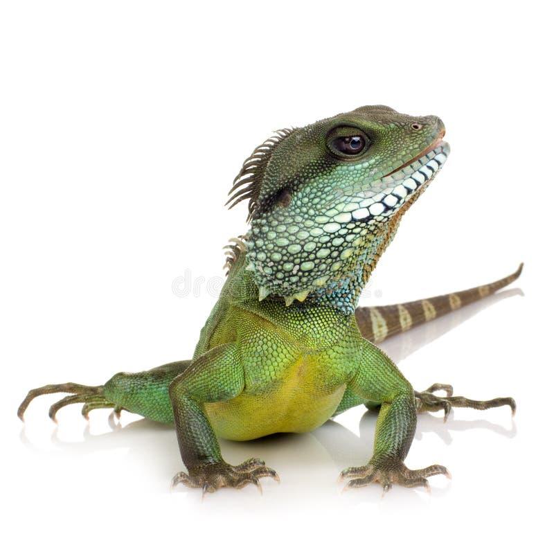Dragon d'eau indien - cocincinus de Physignathus image stock