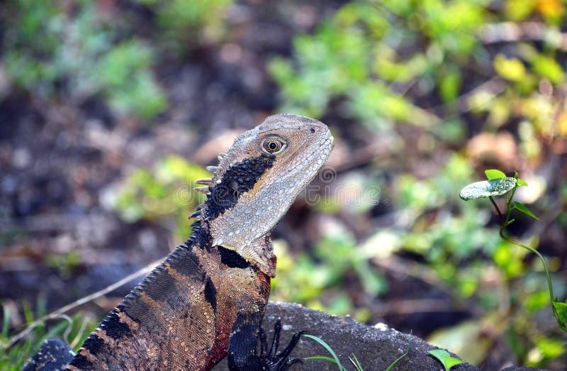 Dragon d'eau oriental australien masculin photographie stock libre de droits
