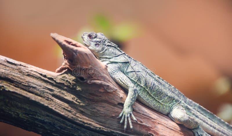 Dragon d'eau vert chinois sur l'arbre de branche images libres de droits