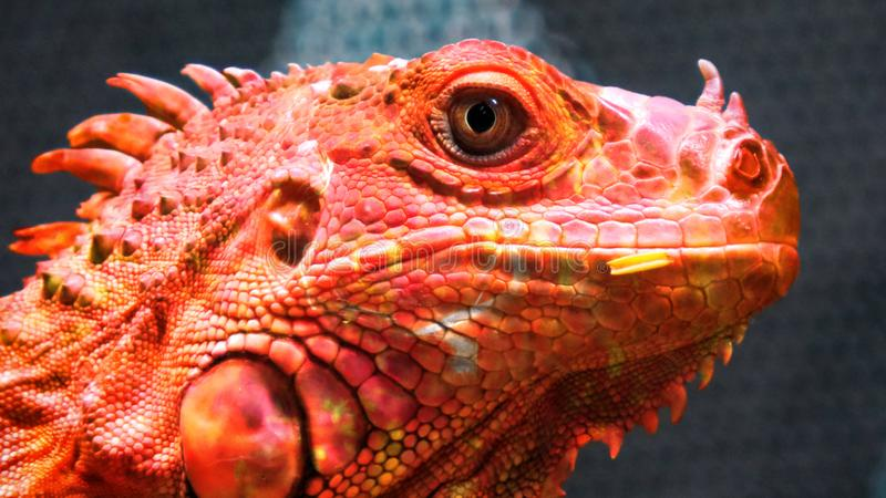 Dragon de caméléon du feu photographie stock