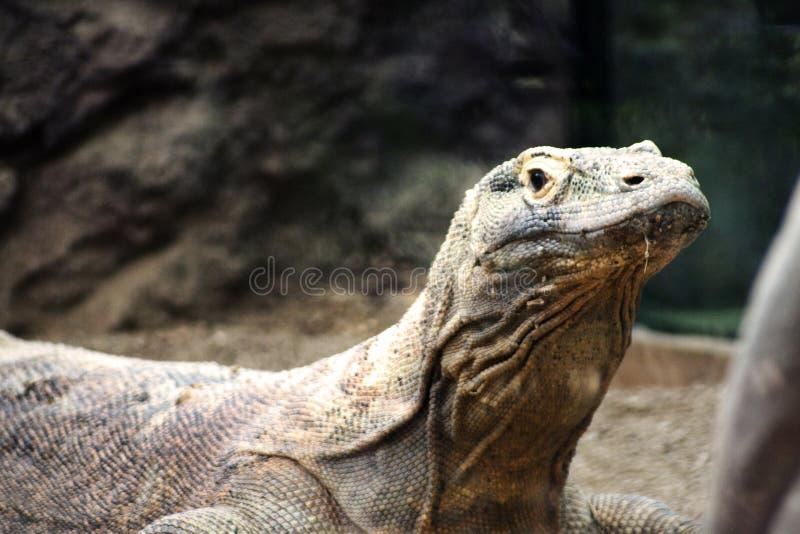Dragon de Comodo photo stock