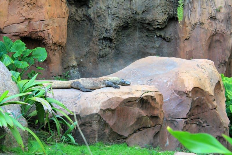 Dragon de Comodo prenant un bain de soleil au règne animal images libres de droits