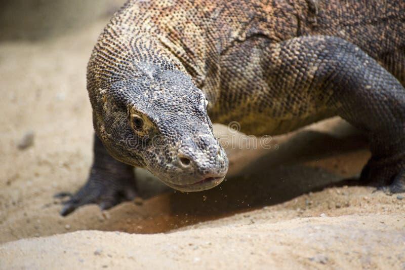 Dragon de Komodo images libres de droits