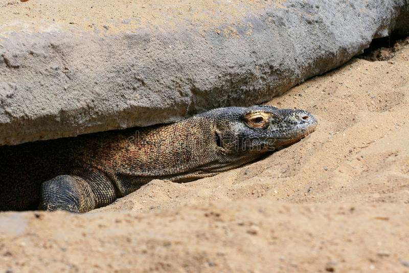 Dragon de Komodo image stock