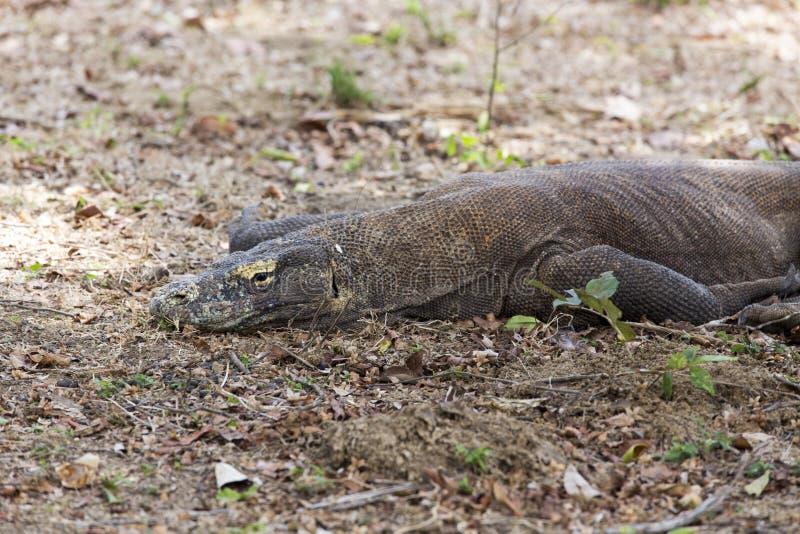 Dragon de Komodo images stock