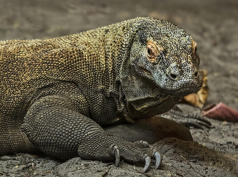 Dragon de Komodo image stock