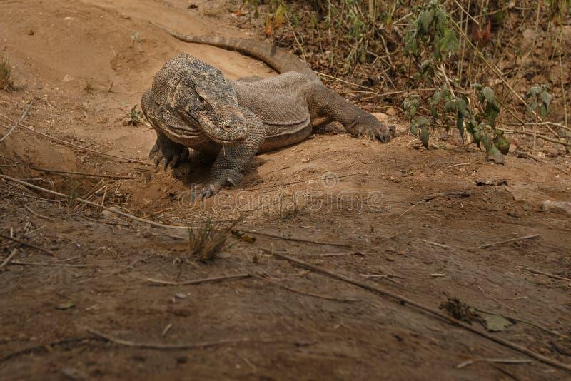 Dragon de Komodo gardant le nid près du photographe photographie stock libre de droits
