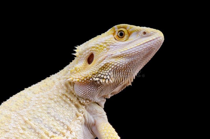 Dragon de Leucistic/vitticeps barbus de Pogona photos libres de droits