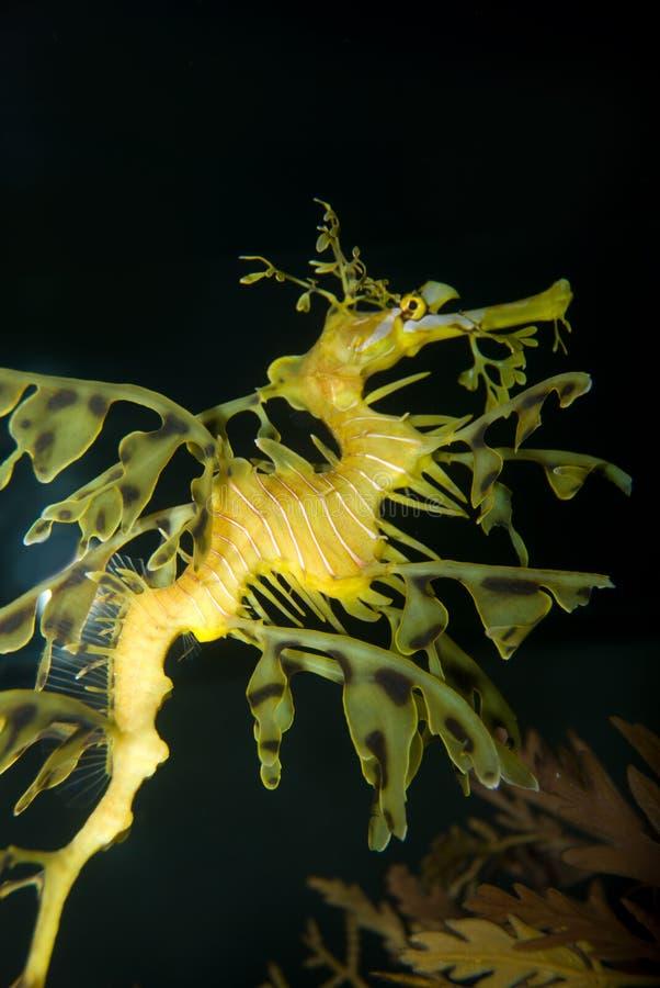 Dragon de mer photo libre de droits