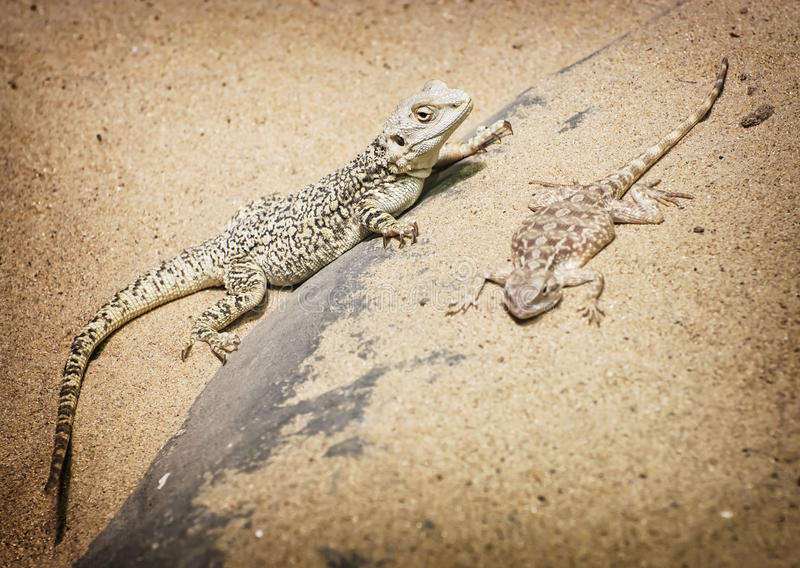 Dragon et agame barbus centraux de steppe photographie stock libre de droits