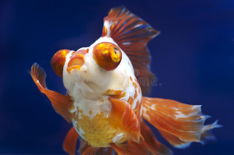Dragon eye Goldfish in Fish Tank stock photo