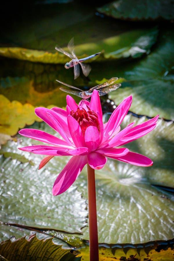 Dragon Flies op een Roze Waterlelie royalty-vrije stock fotografie