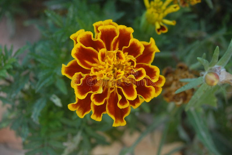 Dragon Flower fotos de stock royalty free