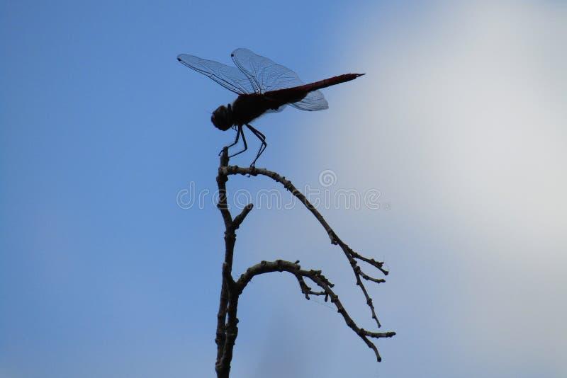 Dragon Fly imagens de stock