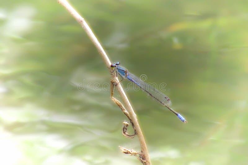 Dragon Fly foto de archivo