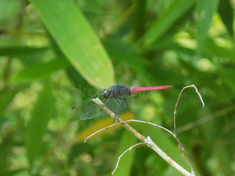 Dragon Fly royaltyfri bild