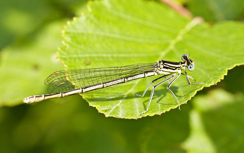 Dragon Fly Stock Photography