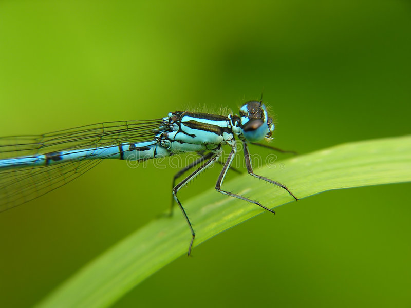 Download Dragon fly stock photo. Image of close, balance, meadow - 160230