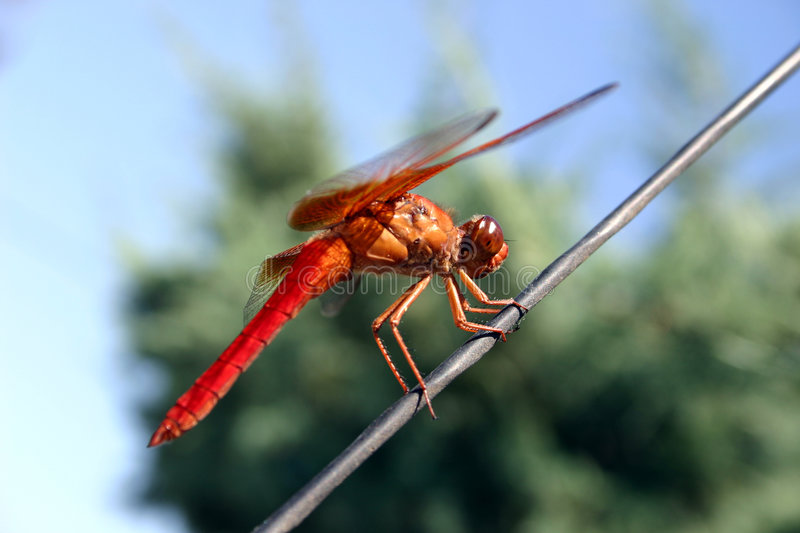 Download Dragon Fly stock photo. Image of eyes, nature, flying, wing - 188670
