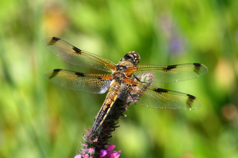 Dragon fly royalty free stock photo