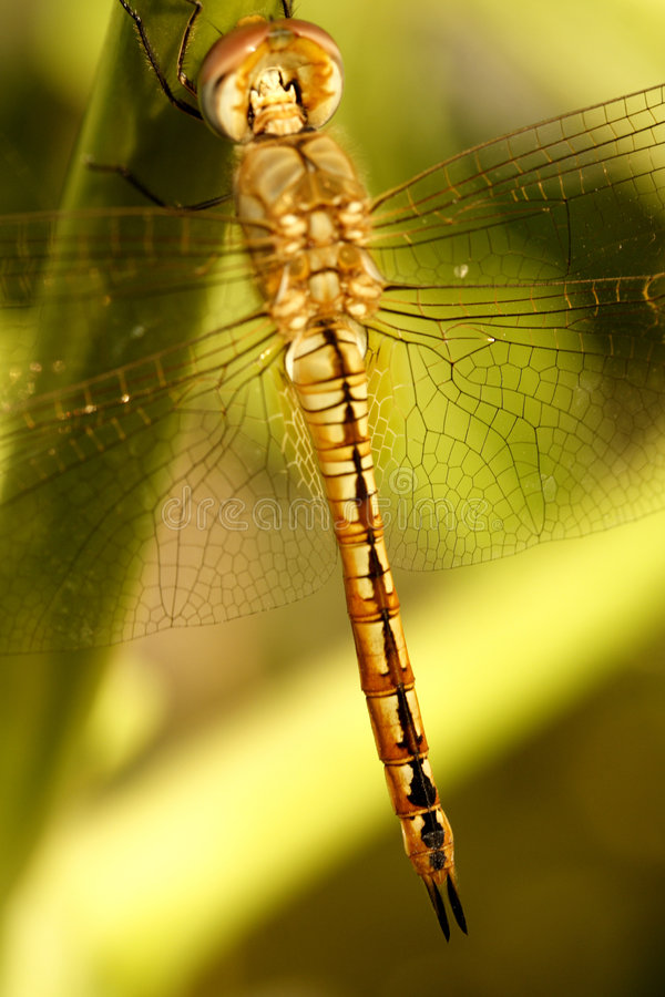 Dragon fly. A beautiful Dragon fly on a plant stock images