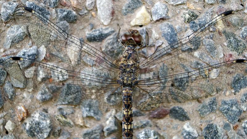 Dragon Fly stock afbeeldingen